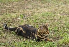 Il gatto barrato riposa sopra l'erba fotografie stock