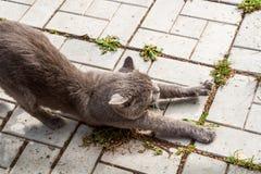 Il gatto ben nutrito felice sta allungando sul percorso di pietra Immagine Stock Libera da Diritti
