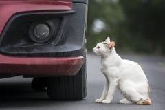 Il gatto bianco accanto ad un'automobile Fotografia Stock