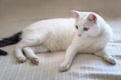 Il gatto bianco con giallo osserva il primo piano Immagini Stock Libere da Diritti