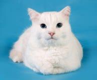 Il gatto bianco con gli occhi azzurri si trova sul blu Fotografia Stock