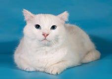 Il gatto bianco con gli occhi azzurri si trova sul blu Fotografie Stock Libere da Diritti