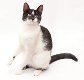Il gatto bianco con i punti neri ed il giallo osserva la seduta sulla sua l posteriore Fotografie Stock Libere da Diritti