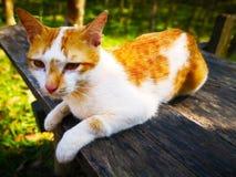 Il gatto bianco con le bande marroni ed il giallo osserva, sta sedendosi sopra Immagini Stock Libere da Diritti