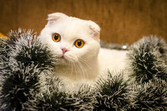 Il gatto bianco della razza dello Scottish piega in lamé del nuovo anno su un fondo arancio Immagini Stock Libere da Diritti