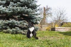 Il gatto in bianco e nero si siede in erba vicino all'albero di Natale Immagine Stock Libera da Diritti