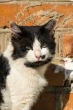 Il gatto in bianco e nero sta pensando a qualcosa Fotografie Stock Libere da Diritti