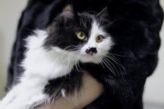 Il gatto in bianco e nero sta sulle mani e sugli sguardi con gli occhi enormi al lato immagini stock