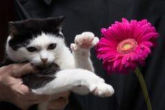 Il gatto in bianco e nero sveglio tocca il fiore con la zampa che si siede sulle mani della padrona fotografia stock