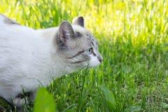Il gatto bianco ha visto qualcosa ed ha allungato la sua testa contro lo sfondo di erba luminosa Immagine Stock