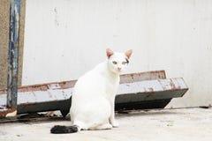 Il gatto bianco in Tailandia sta sedendosi immagine stock