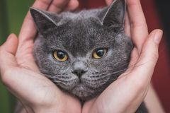 Il gatto britannico è giocato fotografie stock