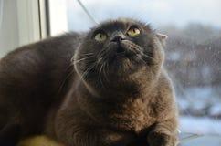 Il gatto britannico Fotografie Stock