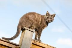 Il gatto britannico blu che si siede su di legno recinta il giardino Fotografia Stock Libera da Diritti