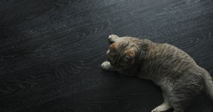 Il gatto britannico dorato sveglio sta sembrando divertente stock footage