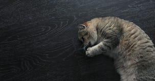 Il gatto britannico dorato sveglio sta sembrando divertente video d archivio