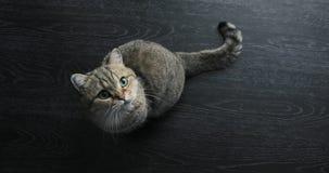 Il gatto britannico dorato sveglio sta sembrando divertente archivi video