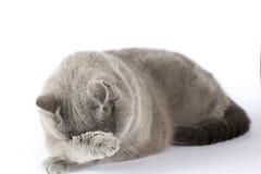 Il gatto britannico ha coperto il suo fronte di sua zampa fotografia stock