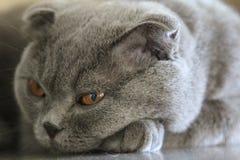 Il gatto cade addormentato Fotografia Stock Libera da Diritti