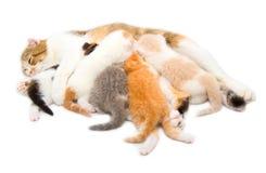 Il gatto che alimenta i gattini Fotografia Stock Libera da Diritti
