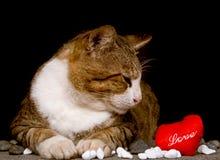 Il gatto che esamina il cuore rosso ha modellato l'amore con fondo nero Fotografia Stock