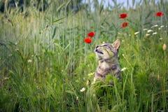 Il gatto che odora i papaveri fiorisce in un giacimento di grano fotografia stock