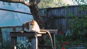 Il gatto che si siede sul sedile di legno sotto l'albero Gatto contro lo sfondo del recinto di legno e dei tulipani rossi Il gatt stock footage