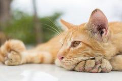 Il gatto che si trova sul pavimento di legno nei precedenti ha offuscato vicino sui gatti allegri Fotografia Stock