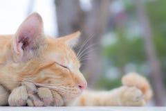 Il gatto che si trova sul pavimento di legno nei precedenti ha offuscato vicino sui gatti allegri Fotografie Stock Libere da Diritti