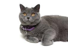 Il gatto con giallo osserva in collare porpora su un fondo bianco Fotografia Stock Libera da Diritti