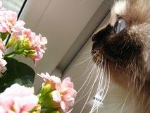 Il gatto con gli occhi azzurri cosmici esamina il primo piano dei fiori immagini stock