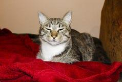 Il gatto con gli occhi verdi sta trovando sotto la coperta rossa immagini stock