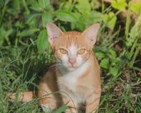 Il gatto con grande giallo osserva sul prato inglese Immagine Stock