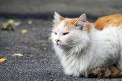 il gatto dalla testa bianco prende i feromoni Fotografie Stock Libere da Diritti
