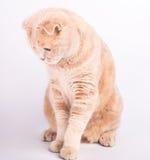 Il gatto del popolare dello Scottish aspetta l'alimento Fotografia Stock