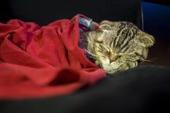 Il gatto del popolare dello Scottish dorme dolce sotto una coperta rossa, la sua testa che riposa sul piede Fotografie Stock Libere da Diritti