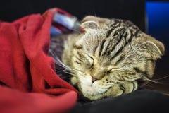 Il gatto del popolare dello Scottish dorme dolce sotto una coperta rossa, la sua testa che riposa sul piede Immagine Stock Libera da Diritti