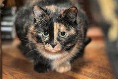 Il gatto della carapace si siede Immagini Stock Libere da Diritti