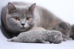 Il gatto della madre prende la cura dei suoi gattini neonati Immagini Stock