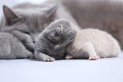 Il gatto della madre prende la cura dei suoi gattini neonati Fotografia Stock