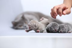 Il gatto della madre prende la cura dei suoi gattini neonati Immagine Stock