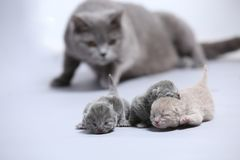Il gatto della madre prende la cura dei suoi gattini neonati Fotografia Stock Libera da Diritti
