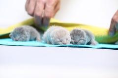 Il gatto della madre prende la cura dei suoi gattini neonati Immagini Stock Libere da Diritti
