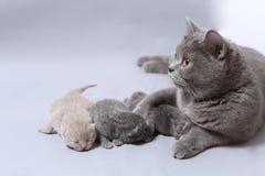 Il gatto della madre prende la cura dei suoi gattini neonati Fotografie Stock