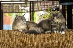 Il gatto delle coppie che mette sul letto di legno Immagine Stock