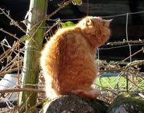 Il gatto dello zenzero Immagine Stock