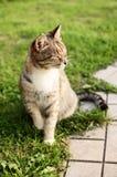 Il gatto di bellezza Fotografia Stock Libera da Diritti