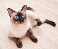Il gatto di birmano si trova sul pavimento Immagini Stock
