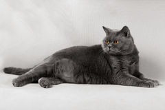 Il gatto di Britannici Shorthair con giallo osserva la menzogne su un backgroun grigio Immagine Stock Libera da Diritti