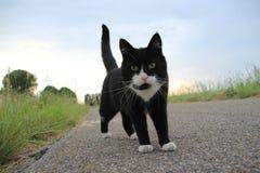 Il gatto di caccia alla campagna al tramonto di estate Fotografie Stock Libere da Diritti